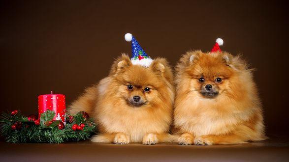 Обои Две маленькие, рыженькие собачки, лежат на ровной поверхности, наряженные к новому году