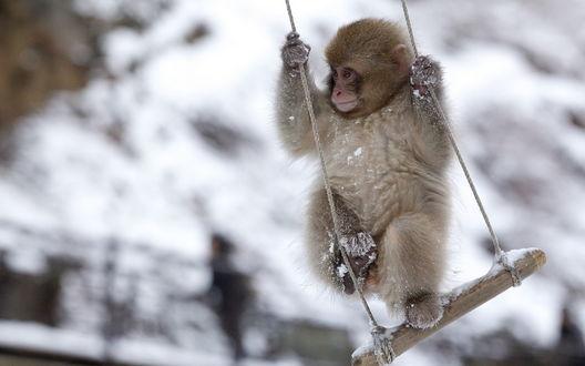 Обои Маленькая обезьянка качается на заснеженной качели на размытом фоне