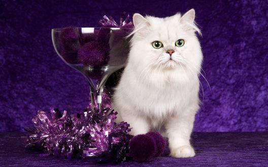 Обои Пушистая, белая кошка сидит около стеклянной чаши, в которой лежат фиолетовые помпоны, а рядом лежит новогодняя мишура, украшение фиолетового цвета, как и фон на котором сидит кошка