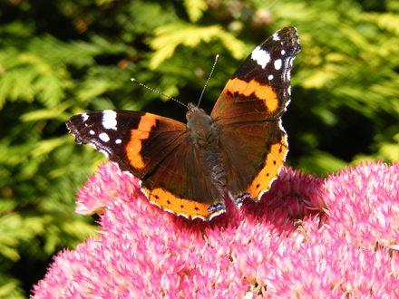 Обои Бабочка сидит на цветке, фон размыт