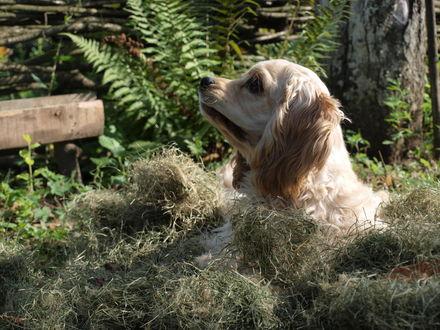 Обои Собака породы американский кокер спаниель лежит на сене