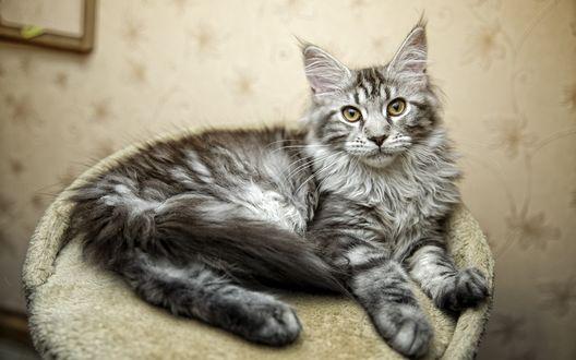 Обои Пушистая серая кошка, лежит на пуфике, смотрит прямо в объектив