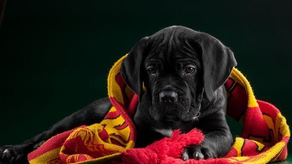 Обои Черный щенок с шарфиком болельщика