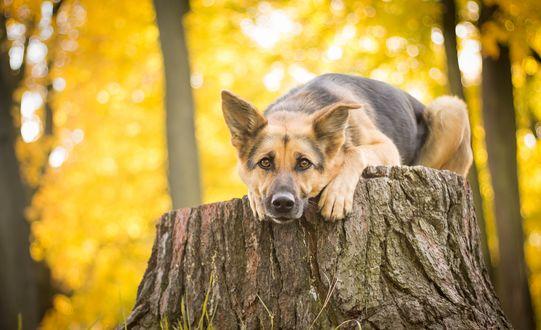 Обои Собака породы немецкая овчарка, лежит на пне, свесив голову и передние лапы вниз
