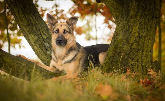 Обои Собака породы немецкая овчарка, лежит под деревом на траве, осыпанной опавшими осенними листьями