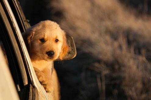 Обои Рыжий щенок, высунул мордочку из машины, и внимательно рассматривает что происходит снаружи