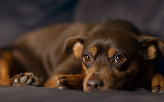 Обои Грустная собака породы карликовый пинчер, лежит на покрывале