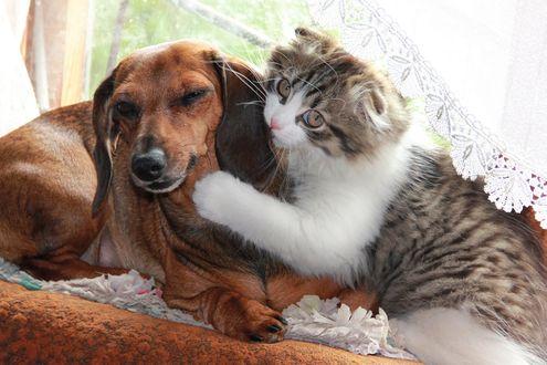 Обои Нежная пушистая дружба, котик и собачка, прижавшись друг к другу, лежат на диване