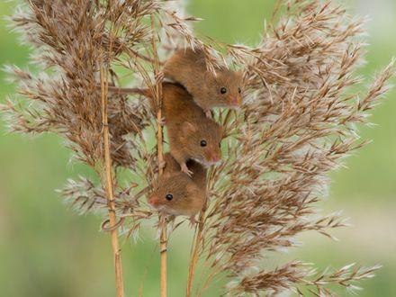 Обои Троица мышат-малюток сидят на ветке сухого растения
