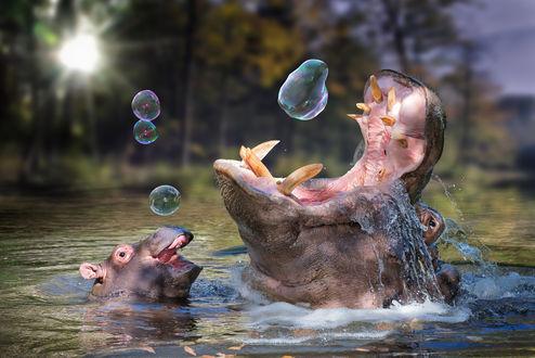 Обои Бегемотики в воде, играют с мыльными пузырями