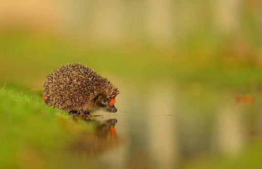 Обои Маленький ежик, с желтым листком на мордочке, стоит на берегу около воды