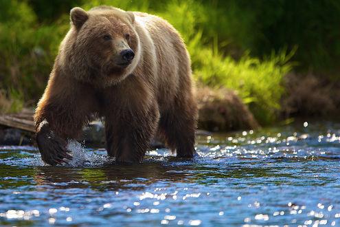 Обои Медведь идет по реке в поиске рыбы