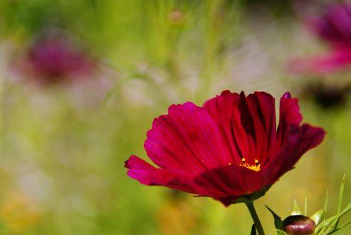 Обои Цветок космеи на размытом фоне, ву u2tryololo