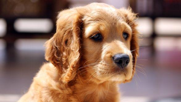 Обои Рыженький щенок, сидит и смотрит печальными глазами куда-то