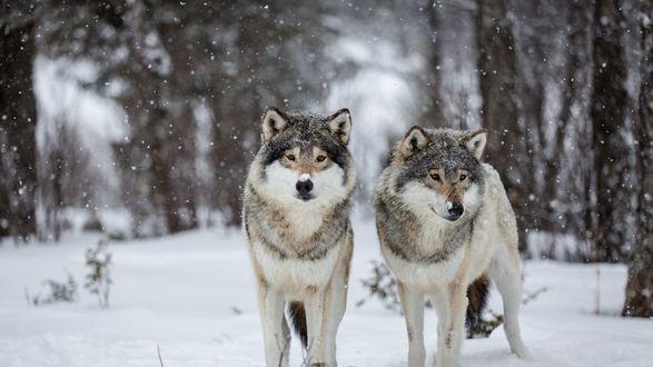Обои Волки под падающим снегом на фоне леса