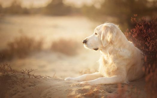 Обои Золотистый ретривер, голден ретривер. Собака лежит боком на песке