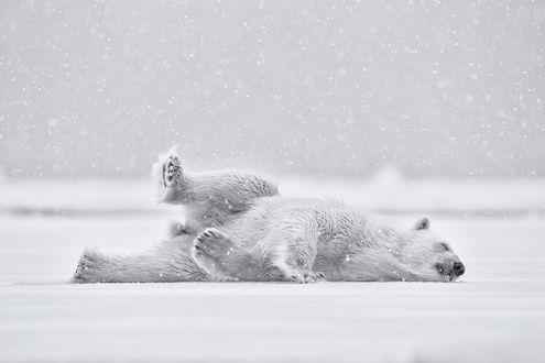 Обои Белый мишка, лежит льдине под сильным снегопадом