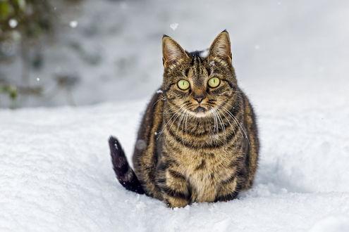 Обои Кот, с большими от удивления глазами, сидит на снегу и смотрит прямо
