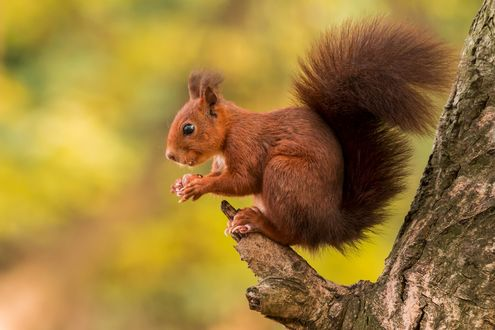 Обои Рыженькая белочка, сидит на сучке дерева и держит орех в лапках