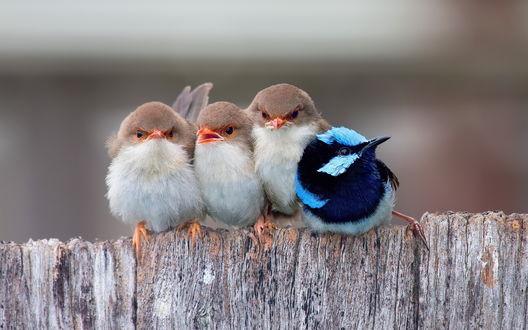 Обои Забавные маленькие птички, сидят на заборе прижавшись друг к другу на размытом фоне
