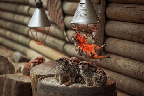 Обои Семейка сурикатов развлекаются в бревенчатом сарае