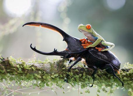 Обои Маленькая желтоглазая лягушка, сидит верхом на жуке-носороге, на ветке дерева, покрытой мелкой, зеленой растительностью