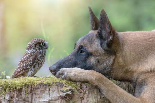 Обои Собака породы бельгийская овчарка малинуа, положила голову, на покрытый мхом пень, а рядом, уселась сова сыч и смотрит на его, фотограф Тани Брандт