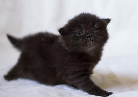 Обои Маленький черный котеночек, стоит на постели, подняв голову вверх, мило смотрит в сторону