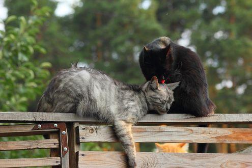 Обои Кошачьи нежности, две кошки на заборе на фоне деревьев