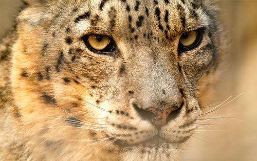 Обои Леопард, пристальный взгляд охотника, фотограф deschamp