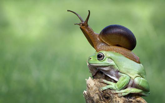 Обои Улитка заползла на лягушку, которая отдыхает на пеньке