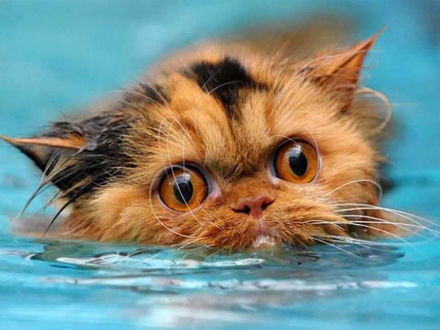 Обои Испуганный взгляд рыжего котика, плывущего в воде