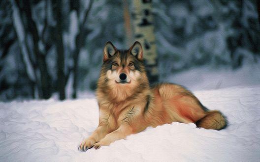Обои Волк лежит на снегу, на размытом фоне леса