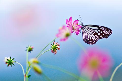 Обои Красивая бабочка сидит на цветке розовой космеи