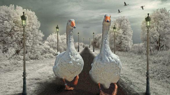 Обои Два гуся шагают по зимней дороге