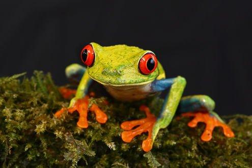 Обои Зеленая лягушка уселась на мох, и что-то высматривает