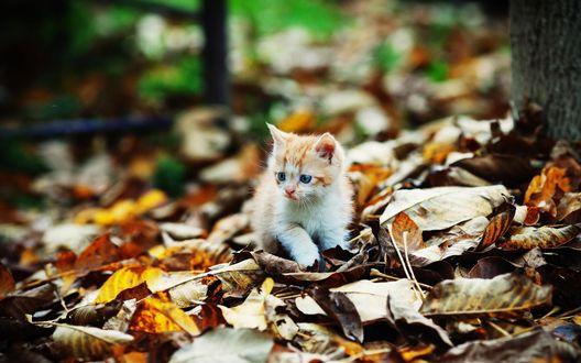 Обои Бело-рыжий котенок сидит на листьях