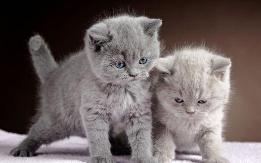 Обои Два серых котенка