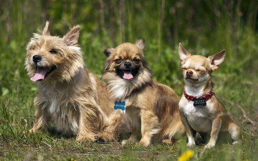 Обои Забавные маленькие собачки, сидят в траве на размытом фоне