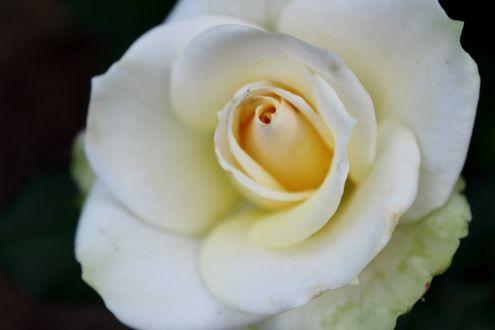Обои Раскрывшийся бутон белой розы
