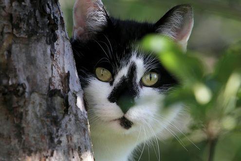 Обои Черно-белая кошка, выглядывает из-за дерева