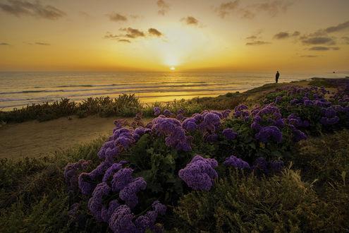 Обои Человек наблюдает за закатом, на первом плане сиреневые цветы, ву K S