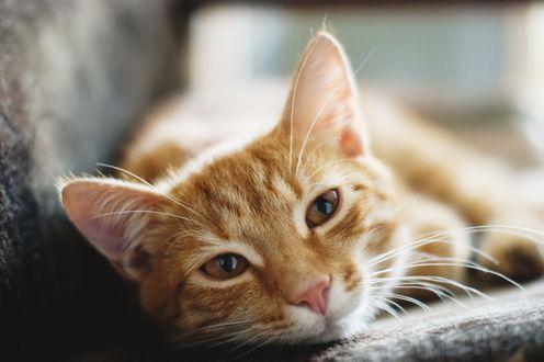 Обои Симпатичная мордочка рыжего кота, лежащего на диване, фотограф Иван Беринцев