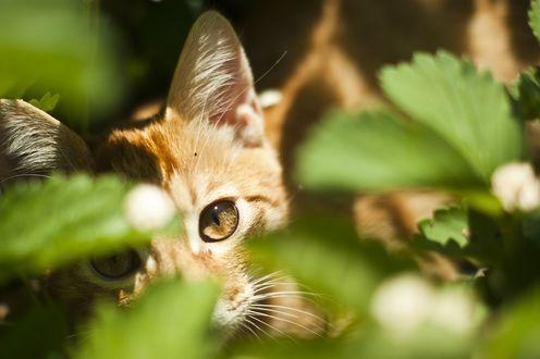 Обои Мордочка рыжего котенка, которую освещают солнечные лучи, котенок смотрит на нас через зеленые листья, фотограф Иван Беринцев