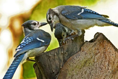 Обои Птичьи разборки, голубые сойки сидят на пеньке на размытом фоне