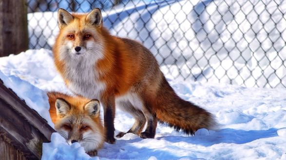 Обои Две красавицы лисички на снегу