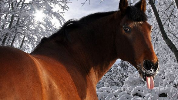 Обои Конь показывает язык