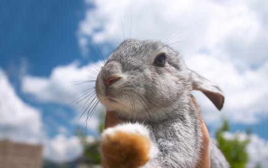 Обои Бело-серый кролик на фоне неба и облаков