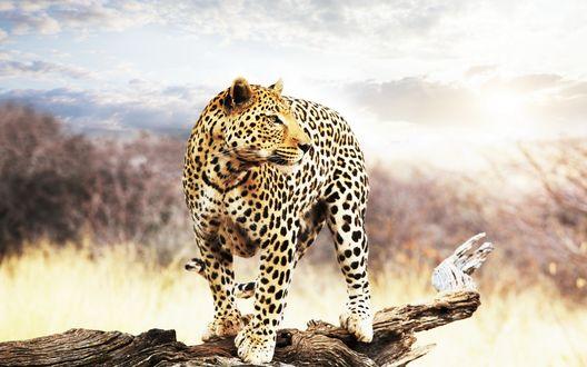 Обои Леопард стоит на ветке дерева и смотрит в даль