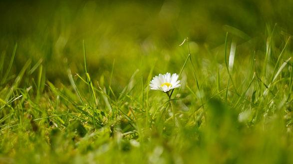 Обои Одинокая ромашка в траве